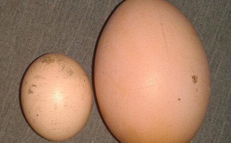 7 причин, почему куры несут маленькие яйца и способы решения проблемы