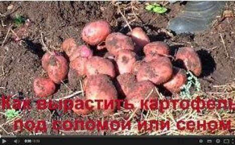 Видео: выращивание картофеля под соломой или сеном