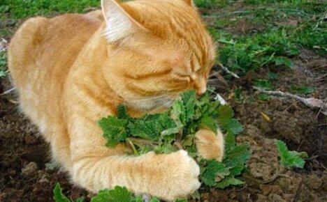 Кому и для чего нужна кошачья мята