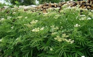 Бузина травянистая – неприхотливый, красивый и лечебный сорняк