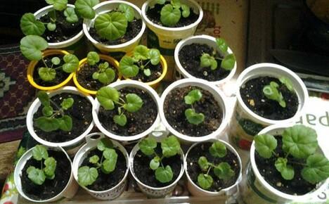 Выращивание рассады пеларгонии
