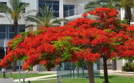 Как вырастить огненное дерево Делоникс королевский в домашних условиях