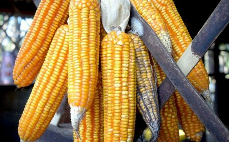 Секреты хранения кукурузы – сушка, консервация, заморозка