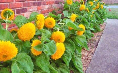 Цветок солнца на вашей клумбе – гелиантус