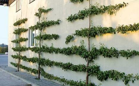 Выращивание фруктовых деревьев на шпалерах