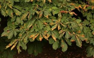 Болезни и вредители каштана – какие бывают и как помочь дереву