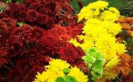 Многолетние цветы в саду и огороде: ирис, пион и хризантема