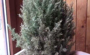 Можжевеловый клещ на декоративных растениях
