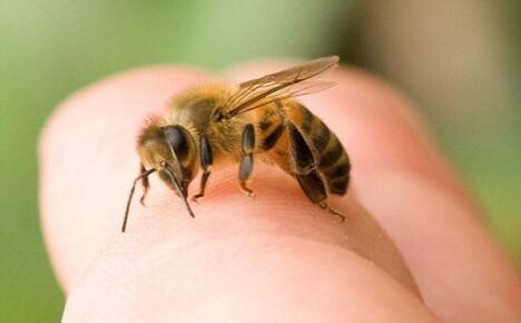 Опасность укуса пчелы и первая доврачебная помощь