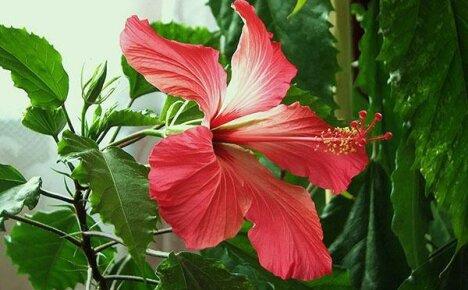 Полезные свойства гибискуса — изысканной китайской розы