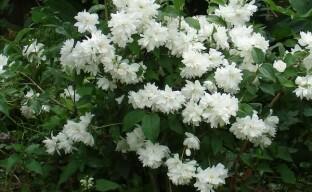 Очаровательный садовый жасмин — чубушник махровый