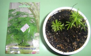 Выращиваем аспарагус из семян