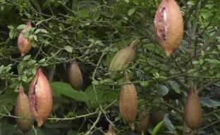 Микроцитрус Австраласика: выращиваем дома диковинку – пальчиковый лайм