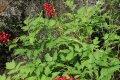Не все, что красиво и полезно – безопасно (лечебная трава воронец с ядовитыми плодами)