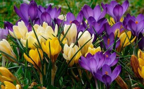 Разноцветная мозаика на весенней клумбе – популярные виды крокусов