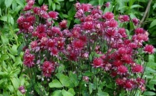 Выращивание аквилегии в саду: все, что нужно знать цветоводу-любителю