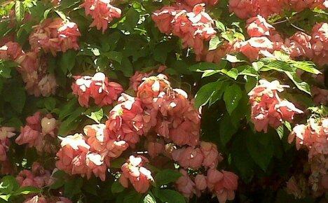 Правила выращивания муссенды в России для получения роскошного цветения