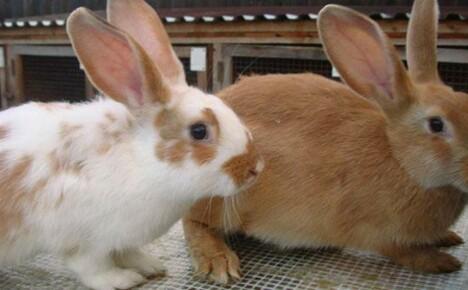 Когда и зачем делать прививку кроликам?