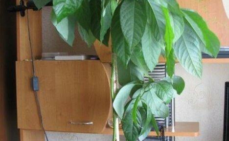 Мексиканец авокадо на вашем окне: как ухаживать за экзотом