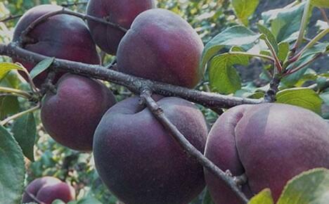 Редкий брюнет среди рыжих — абрикос Черный бархат