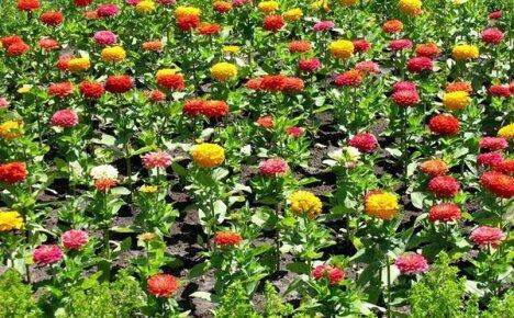 Несложное выращивание цинии на клумбе дачного участка
