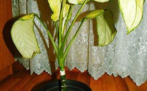 Почему у вашей диффенбахии желтеют листья?