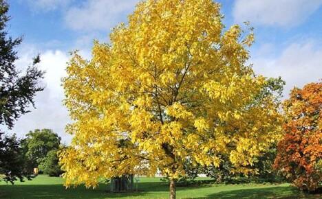Как вырастить ясень на дачном участке