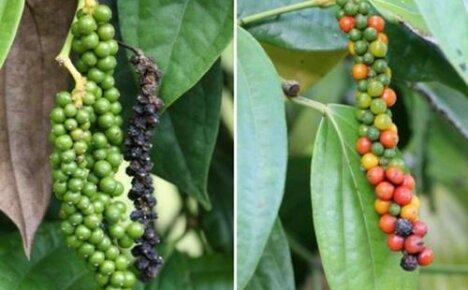 Как растет черный перец: описание растения и особенности выращивания