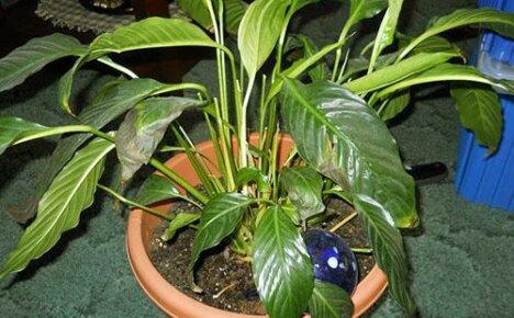 У спатифиллума чернеют кончики листьев, как помочь растению и что нужно делать