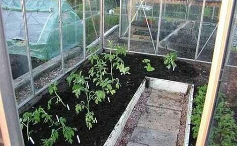 Время посадки помидор для теплицы