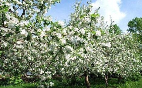 Фото любимых сортов яблонь с названием и описанием