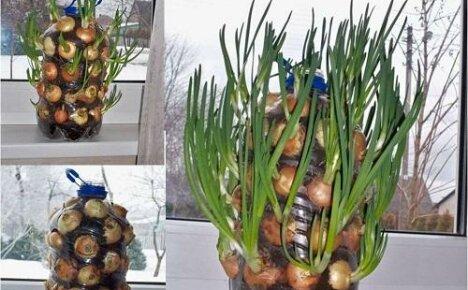 Как сделать огород в бутылке на подоконнике?