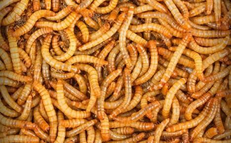 Как разводить и выращивать мучных червей для кур