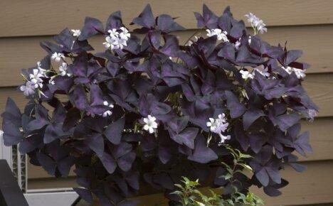 Кислица пурпурная – фиолетовая бабочка на вашем подоконнике