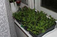 Как вырастить рукколу на подоконнике — обеспечиваем себя витаминами зимой