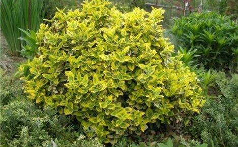 Особенности выращивания бересклета садового