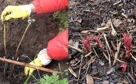 Удачная посадка пиона зависит от выбора почвы