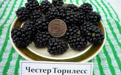 Высокоурожайный и морозостойкий сорт безшипной ежевики Честер Торнлесс