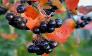 Рябина черная – красивый, вкусный и полезный кустарник для вашего сада