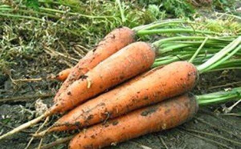 Когда лучше сеять морковь в Сибири