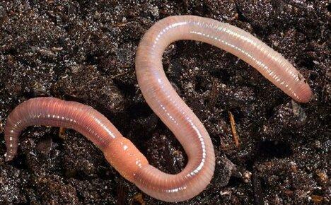 Для чего нужны на участке дождевые черви и как их разводить