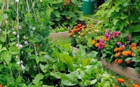 Соблюдаем правильное соседство на грядках, создавая смешанные посадки овощей