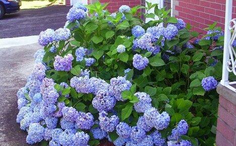 А вы посадили на участке гортензию весной в открытый грунт?