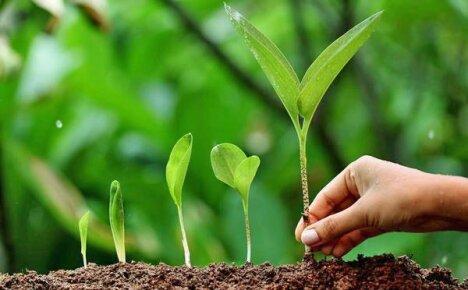 Как вырастить черемшу дома и на дачном участке