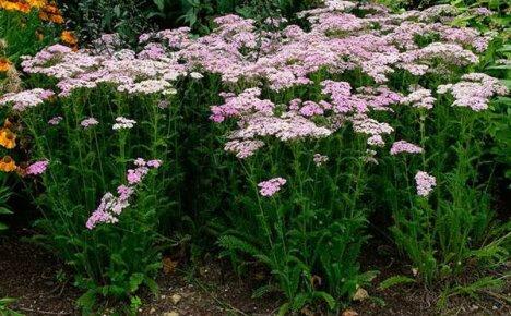 Величавый тысячелистник в саду: описание, популярные виды, выращивание и правила ухода