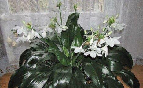 Уход за эухарисом в домашних условиях — нехитрые секреты обильного цветения