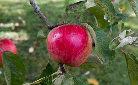 Универсальный сорт яблони Услада для разных регионов