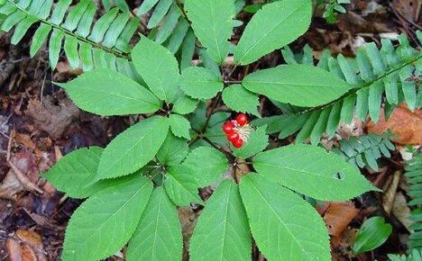 Ботаническое описание, ареал произрастания и особенности выращивания женьшеня