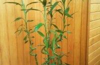 Как ухаживать за бамбуком, растущим в воде и в грунте