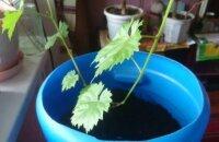 Как вырастить куст винограда из косточки — тонкости посадки